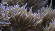Stock Video Footage of Clown Fish in anemone tentacles