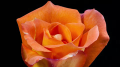 Orange rose flower close up blooming timelapse Stock Footage