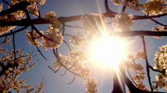 The sun through the cherry flowers Stock Footage