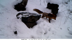 Mangy fox walking through snow on early morning Stock Footage