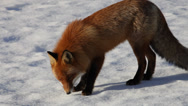 Stock Video Footage of Red fox walking and sniffing