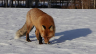 Stock Video Footage of Red fox sniffing and watching