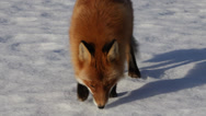 Stock Video Footage of Red fox coming close