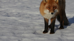Red fox looking into the camera Stock Footage