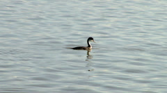 Western grebe Stock Footage