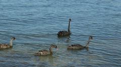Australian black swans swim in matilda bay, perth, australia Stock Footage