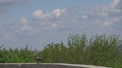 Crow bird raven walking green tree blue sky cloudy summer day wildlife wild sky Stock Footage