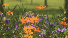 Flying bees nectar at Cosmos flowers,  HD. Stock Footage