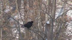 Crow bird raven relax tree branch winter season snow wildlife forest garden peck Stock Footage