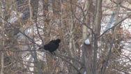 Stock Video Footage of Crow bird raven relax tree branch winter season snow wildlife forest garden peck