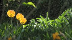 Garden Tulip flower blossom in park in Spring Stock Footage