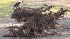 Couple crow bird raven black corvus search food fight eating nut wildlife trunk  Stock Footage