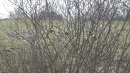 Stock Video Footage of sparrows on branches