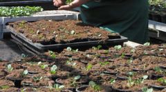 Gardener seedling gardening in greenhouse garden Stock Footage