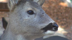 Closeup detail deer head chew ruminate velvet fur animal bambi baby young forest Stock Footage