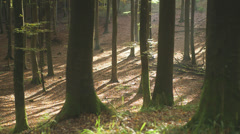 Wonderful Glade Of Beech Trees In The Forest Stock Footage