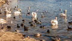 wild birds on the lake - stock photo
