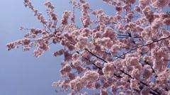 PRAGUE, CZECH REPUBLIC - APRIL 2014: Spring park - flowering tree Stock Footage