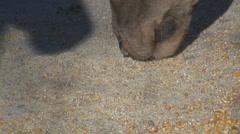Closeup close up deer bambi eating food ground grain wildlife wild mouth day  Stock Footage