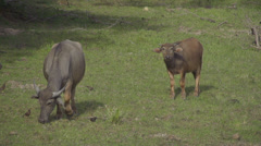 SLOW MOTION: Asian cows on a pasture - stock footage