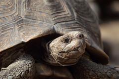 Leopard tortoise (stigmochelys pardalis) Stock Photos