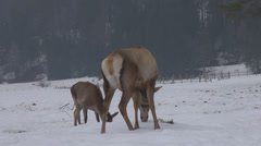 Deer female mother search food snow baby bambi winter time forest cold day game Stock Footage