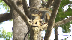 Monkey family  sitting in a tree Stock Footage
