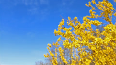 Forsythia slide right Stock Footage