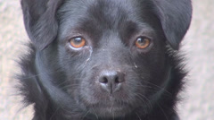 Closeup detail portrait sad dog black fur head tears eye cute adorable day fur Stock Footage