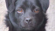 Stock Video Footage of Closeup detail portrait sad dog black fur head tears eye cute adorable day fur