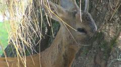 Baby deer eat dry grass chew ruminate hide tree truck closeup forest wildlife  Stock Footage