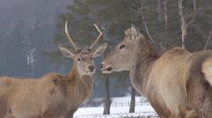 Deer couple looking danger forest animal wildlife winter season adult parent day Stock Footage