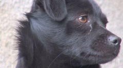 Detail closeup dog head bark bay protect home house danger friend black fur cute - stock footage