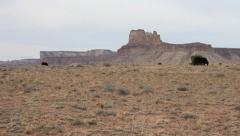 Cows Grazing in the desert with red rock butte in background. Stock Footage