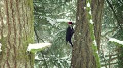 Woodpecker Pecking on a Tree in Winter Stock Footage