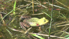 Green frog croaking in spring water Stock Footage