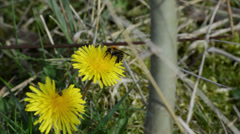 A Bumblebee Collects Pollen from Dandelion Flowers, with Audio Stock Footage
