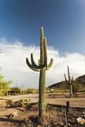 Massive saguaro cactus plant in the arizona desert Stock Photos