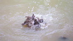 Ducks Taking a Bath Stock Footage