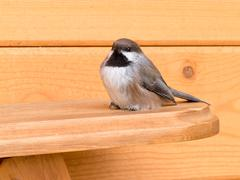 Boreal chickadee poecile hudsonicus passerine bird Stock Photos