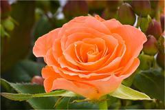 Salmon colored rose - stock photo