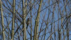A Sparrow Bird Sings in the Trees, with Audio Stock Footage