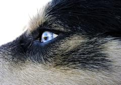 Artic wolfhound dog eye - stock photo