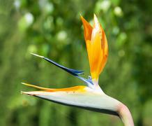 strelitzia reginae flower - stock photo
