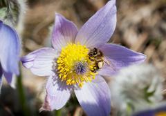 Little bee pollinates the pulsatilla flower Stock Photos