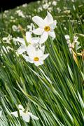 White narcissus flowers Stock Photos