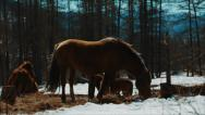 Stock Video Footage of Horses grazing in winter forest of the Altai mountains in backlight