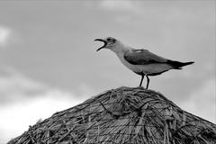 Screaming sea gull Stock Photos