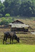 Lehmiä ja viljelijän kota Mae Klang luang, maatalous maaseutu pohjoisessa Kuvituskuvat