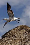 White sea gull flying in straw Stock Photos